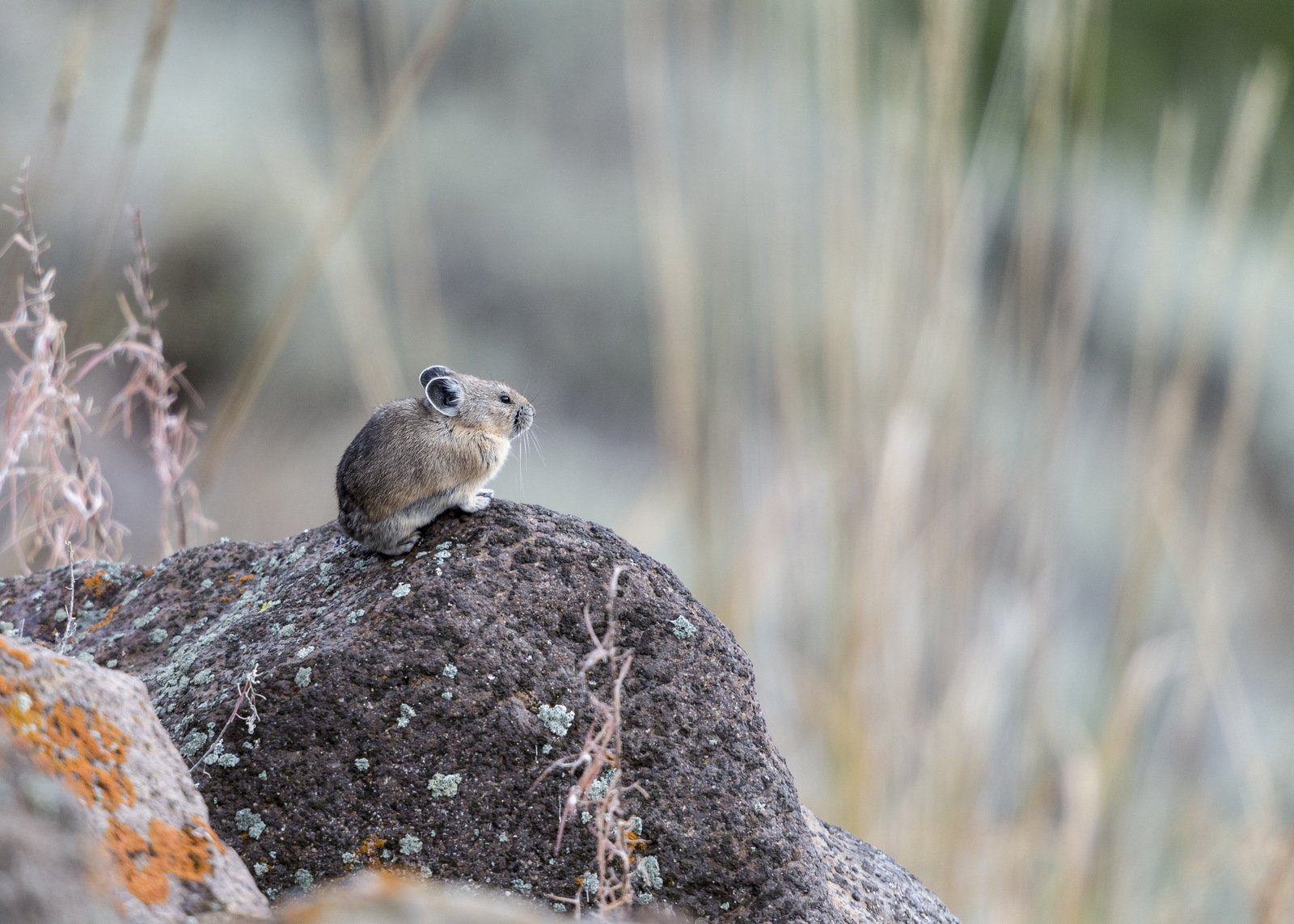Pika, Yellowstone NP (6242)