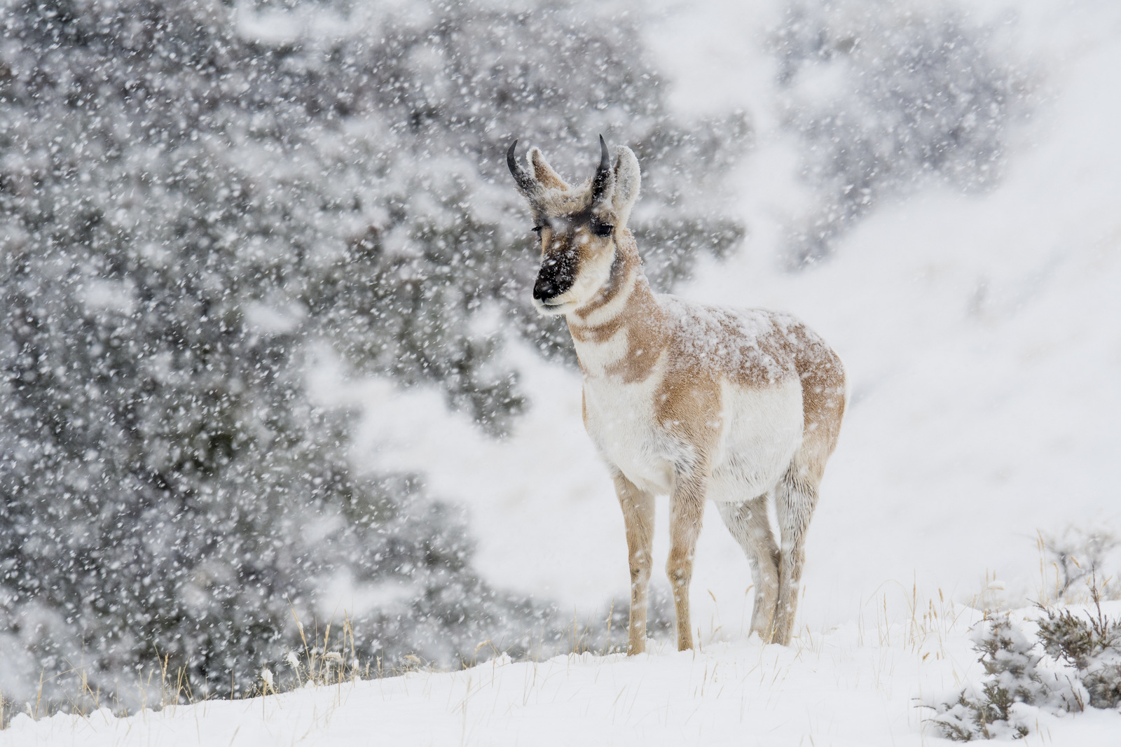 Pronghorn, Yellowstone NP (3659)