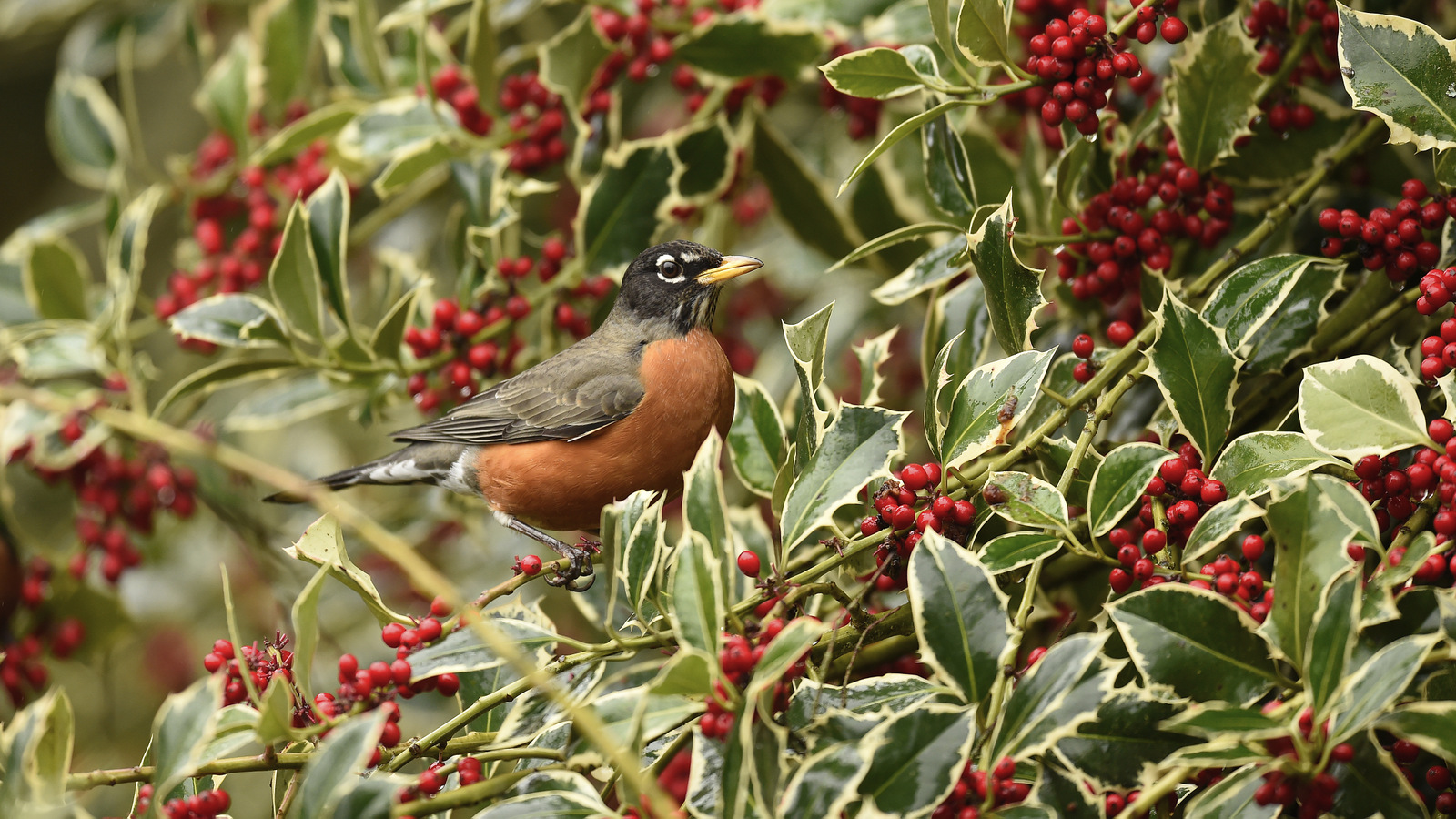 American Robin, Washington State (1346)