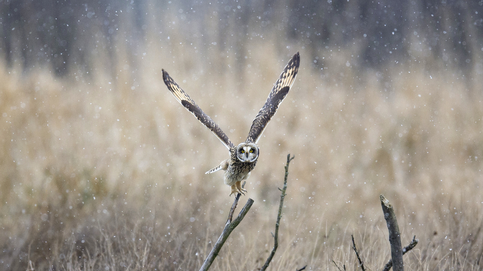 Short-eared Owl, Washington State (2213)