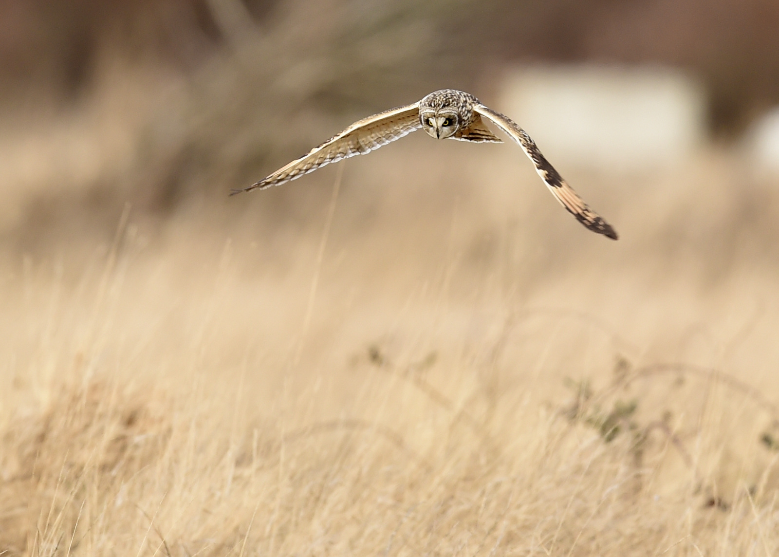 Short-eared owl, Washington State (8547)