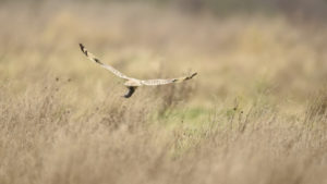 Short-eared owl, Washington State (9030)