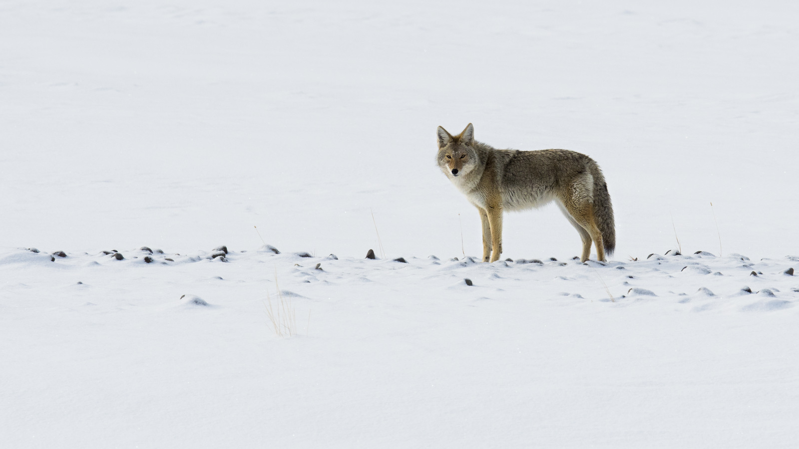 Coyote, Yellowstone NP (3244)