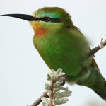 Blue-cheeked Bee-eater, Nxai Pan National Park - Botswana (3190)