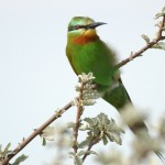 Blue-cheeked Bee-eater, Nxai Pan National Park - Botswana (3208)