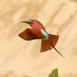 Carmine Bee-eater, South Luangwa National Park - Zambia (2028)