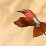 Carmine Bee-eater, South Luangwa National Park - Zambia (2028c)