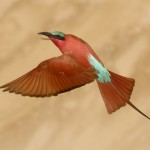 Carmine Bee-eater, South Luangwa National Park - Zambia (2030c)
