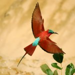 Carmine Bee-eater, South Luangwa National Park - Zambia (6045)
