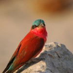 Carmine Bee-eater, South Luangwa National Park - Zambia (61)