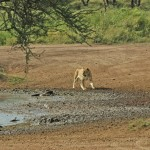 Lion, Serengeti National Park - Tanzania (7115)