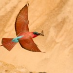 Carmine Bee-eater, South Luangwa National Park - Zambia (1516)