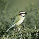 White-throated Bee-eater, Samburu National Park - Kenya (01)