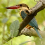 Stork-billed Kingfisher, Ranthambore National Park - India (8506)