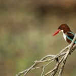 White-throated Kingfisher, Ranthambore National Park - India (9406)