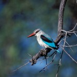 Woodland Kingfisher, Moremi National Park - Botswana (27)