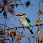 Woodland Kingfisher, Moremi National Park - Botswana (33)