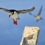 Atlantic Puffin, Machias Island - USA (0003)