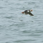 Atlantic Puffin, Machias Island - USA (0460)