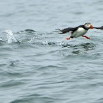 Atlantic Puffin, Machias Island - USA (0484)