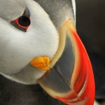 Atlantic Puffin, Machias Island - USA (0865)