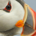 Atlantic Puffin, Machias Island - USA (1045)