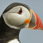 Atlantic Puffin, Machias Island - USA (1046)