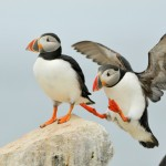 Atlantic Puffin, Machias Island - USA (1354)