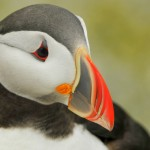 Atlantic Puffin, Machias Island - USA (1503)