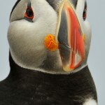Atlantic Puffin, Machias Island - USA (1752)