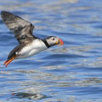 Atlantic Puffin, Machias Island - USA (2121)