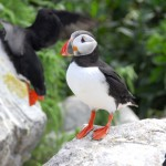 Atlantic Puffin, Machias Island - USA (2237)