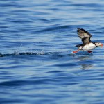 Atlantic Puffin, Machias Island - USA (2370)