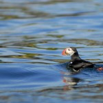 Atlantic Puffin, Machias Island - USA (2657)