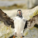 Atlantic Puffin, Machias Island - USA (3058)