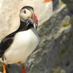 Atlantic Puffin, Machias Island - USA (3085)