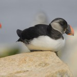 Atlantic Puffin (Adolescent), Machias Island - USA (3498)