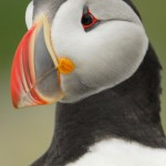 Atlantic Puffin, Machias Island - USA (3561)