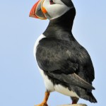 Atlantic Puffin, Machias Island - USA (7192)
