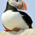 Atlantic Puffin, Machias Island - USA (7229)