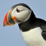 Atlantic Puffin, Machias Island - USA (7543)