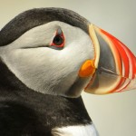 Atlantic Puffin, Machias Island - USA (7634)