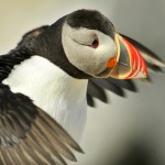 Atlantic Puffin, Machias Island - USA (7648)