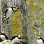 Atlantic Puffin, Machias Island - USA (7800)