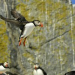 Atlantic Puffin, Machias Island - USA (7801)