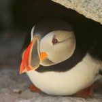 Atlantic Puffin, Machias Island - USA (8283)