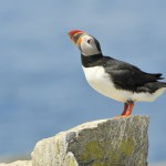 Atlantic Puffin, Machias Island - USA (8534)