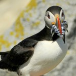 Atlantic Puffin, Machias Island - USA (9030)