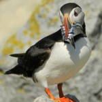 Atlantic Puffin, Machias Island - USA (9044)