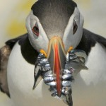 Atlantic Puffin, Machias Island - USA (9046)